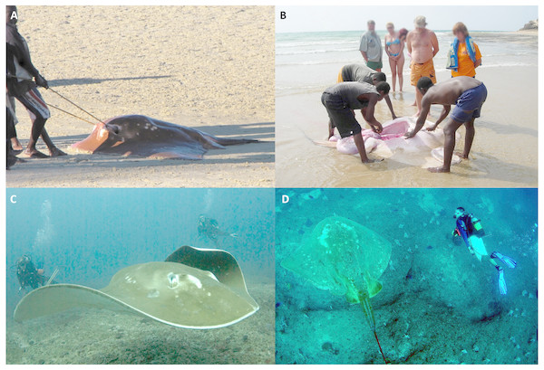 Human interactions with M. microps along southern Mozambican coastline.