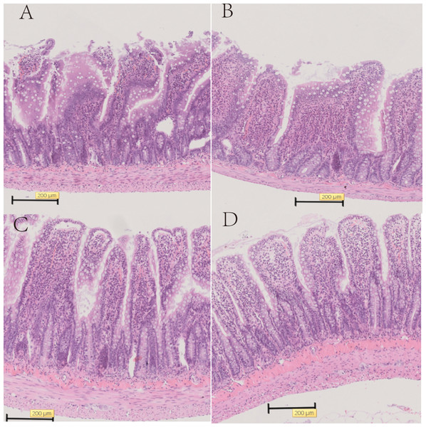 Representative histology of the ileum and colon with HE stain in SD rats.