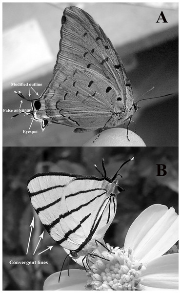 "Two examples of ""false heads"" as seen in perching Lycaenidae butterflies."