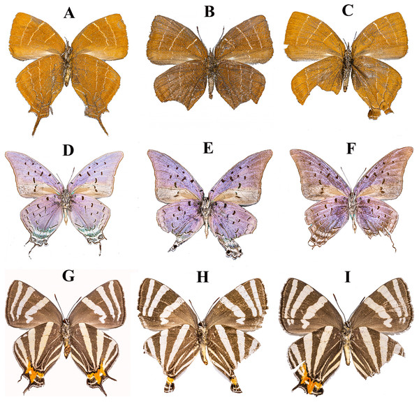"Examples of the ventral wing surfaces of pinned specimens of ""false head"" butterfly species (Lepidoptera: Lycaenidae: Theclinae)."