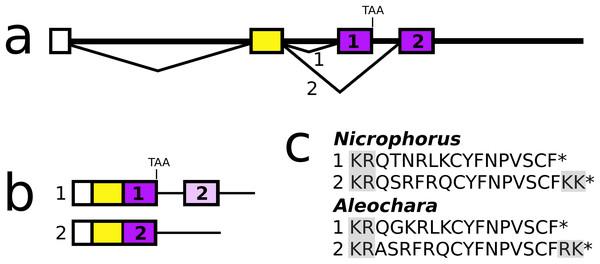 Nicrophorus allatostatin CCC gene.