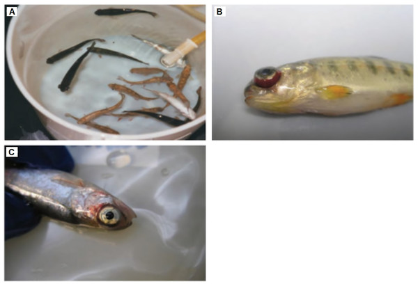 Clinical signs of IHNV infected fishes.