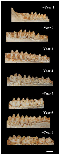 Ontogenetic changes in the lower dentition of the Bat Cave P. compressus.