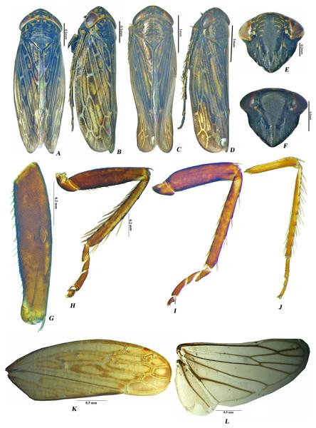Male Pseudosubhimalus species (A) P. bicolor dorsal habitus. (B) P. bicolor lateral habitus. (C) P. trilobatus sp.nov. dorsal habitus. (D) P. trilobatus sp.nov. lateral habitus. (E) P. bicolor face. (F) P. trilobatus sp.nov. face. (G–L) P. bicolor male (G) Fore Femur (H) Fore leg (I) Middle leg (J) Hind leg (K) Forewing (L) Hind wing.