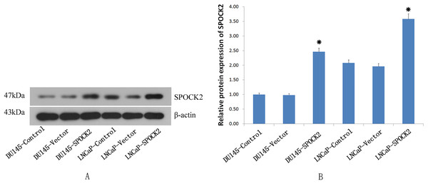 The SPOCK2 protein expression in cells.