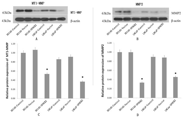 Upregulation of SPOCK2 on the expression of MT1-MMP and MMP2.