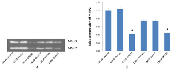 Upregulation of SPOCK2 on the activaion of MMP2.