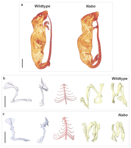 Nabo. adult morphology.