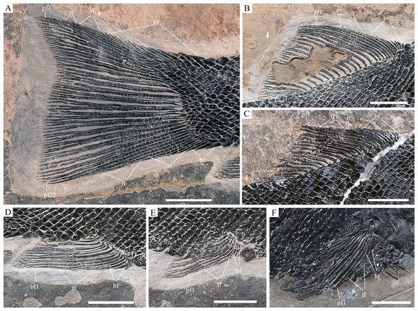 Fins of Robustichthys. Fins of R. luopingensis.