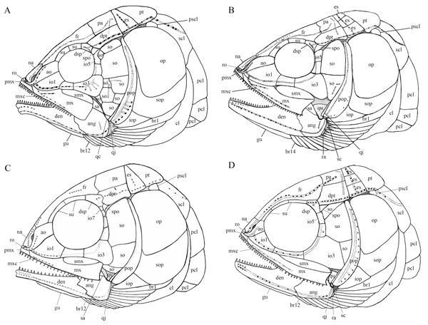 Comparison of skull and pectoral girdle of four ionoscopiforms from the Middle Triassic of China.