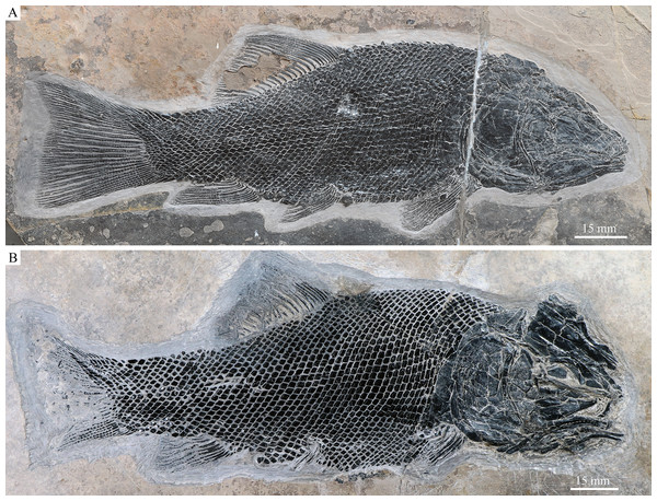IVPP V18568 (holotype) and V20416.