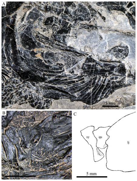 Cranial bones in IVPP V20596 and V18571.