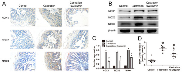 Oxidative stress in seminal vesicle.