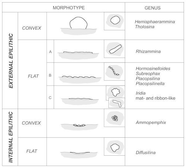 Morphotypes of Pleistocene attached foraminifera from the deep water Arctic environment.