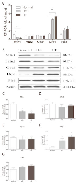 Effects of high glucose and high fat on mitochondrial dynamics-related proteins.