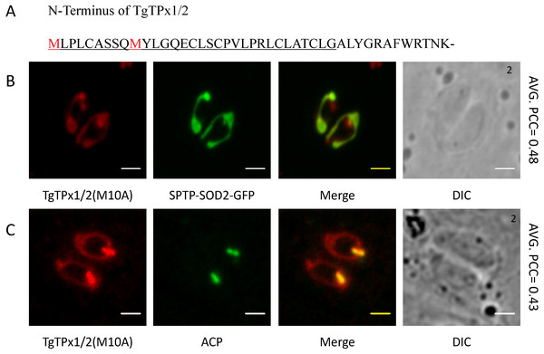 Analyzing the involvement of an alternative translational initiation site in dual targeting of TgTPx1/2 by mutational analysis.