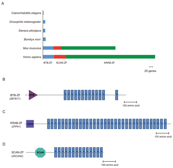 Distribution of BTB-ZF, KRAB-ZF, and SCAN-ZF proteins in the different species.