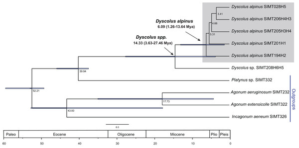 Timing of the D. alpinus clade lineage based on a relaxed molecular clock for both genes.