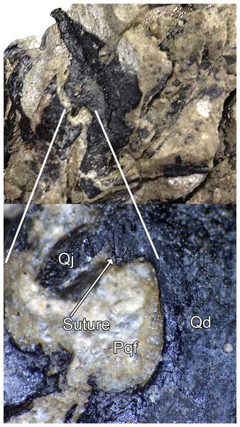Paraquadrate foramen of WYDICE-DML-001.