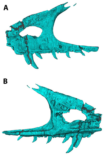 Segmented left maxilla of WYDICE-DML-001.