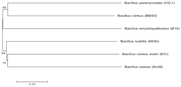 Phylogenetic tree exhibiting phylogenetic relationship between Bacillus subtilis (Mt3b) and Bacillus cereus (So3II).