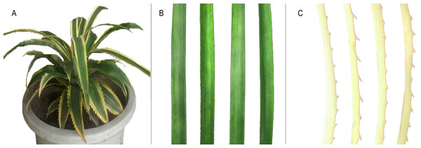Phenotype of chimeric leaves of  A. comosus var. bracteatus used in this study.