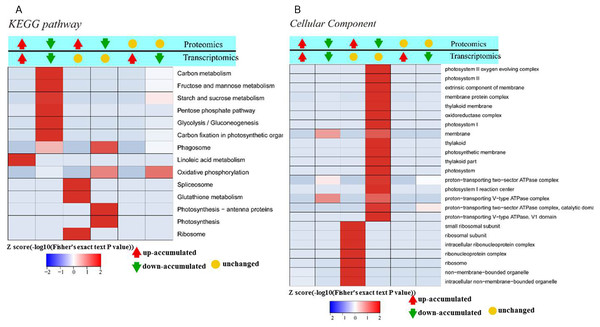 Significant enrichment analysis of DEGs with respect to protein and mRNA based on the direction of change.