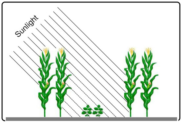 Schematic representation of the maize-soybean relay-intercropping system considered in the present experiment.