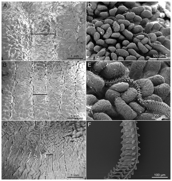 Scanning electron micrographs (SEM) of mucosal surface of spiral intestine and cestodes.