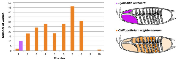 Total number of attached specimens of Symcallio leuckarti and Calliobothrium wightmanorum recovered from each chamber of the spiral intestine in 11 individuals of Mustelus asterias.