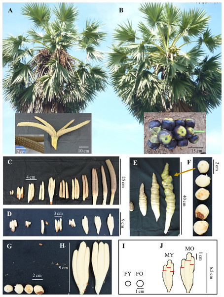 Asian Palmyra palm samples from male and female plants.