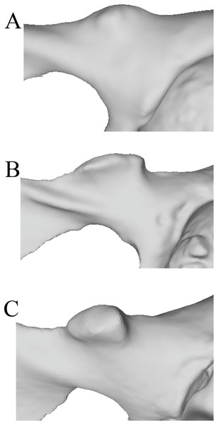 Laser scan depictions of the iliopectineal tubercle in three Pongo specimens.