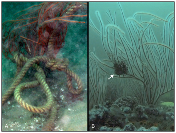 Anthropogenic disturbance effecting sea whip corals.