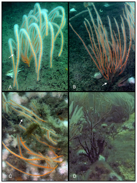 Sea whip corals at various levels of damage.