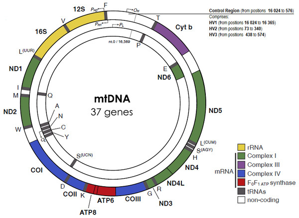 The human mitochondrial DNA genome with genes and control regions labeled.