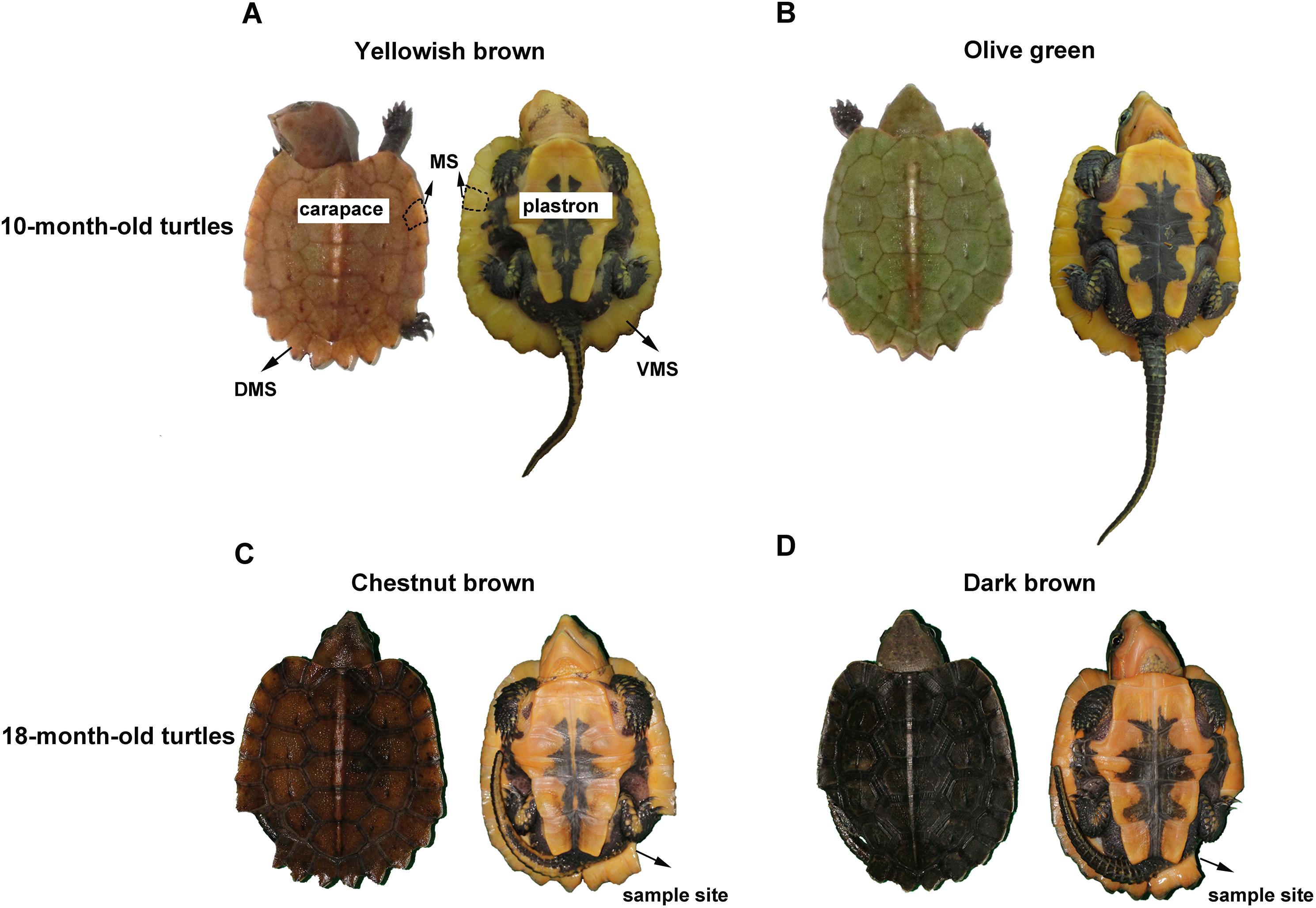 Observations On Carapace Color Change In The Juvenile Big Headed Turtle Platysternon Megacephalum Peerj
