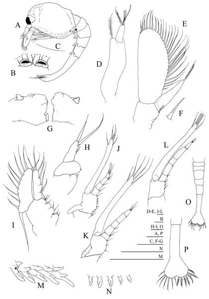 Systellaspis debilis, first zoea.