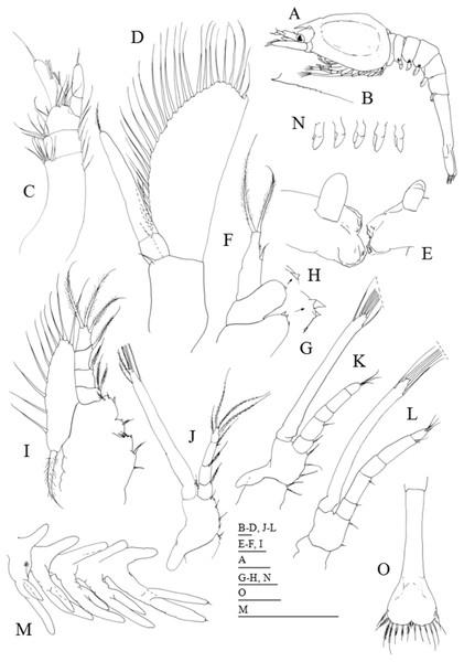 Systellaspis debilis, second zoea.