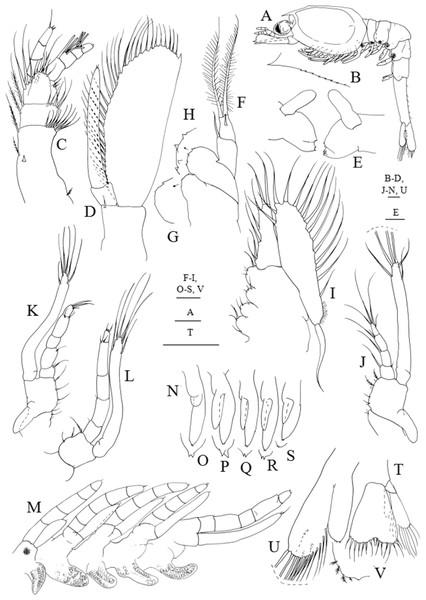 Systellaspis debilis, third zoea.