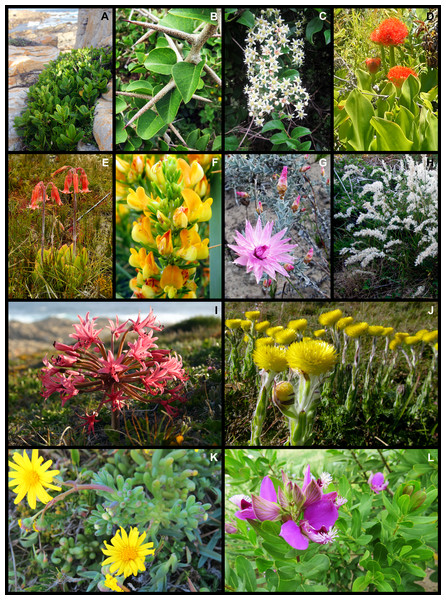 Examples of plant species from the Holocene dune landscape around Cape St Francis in the southeastern Cape Floristic Region that occur on coastal dunes and on other substrata of the hinterland.