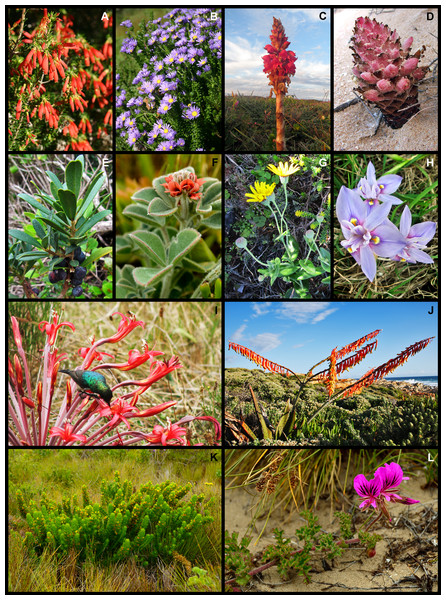 Examples of regional and local dune endemic plant species from the Holocene dune landscape around Cape St Francis in the southeastern Cape Floristic Region.