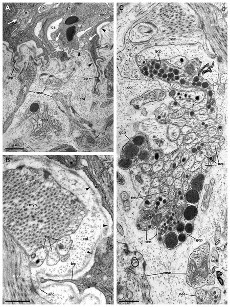 Fibromuscular tissue and fine innervation of the gill leaflets (transmission electron microscopy).