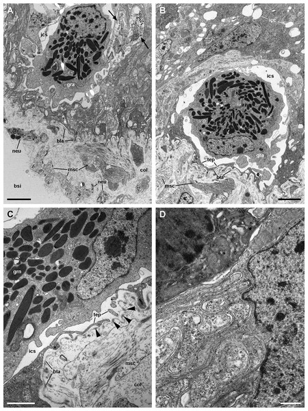 Structures associated with granulocytes in the basolateral domain of the gill epithelium (transmission electron microscopy).