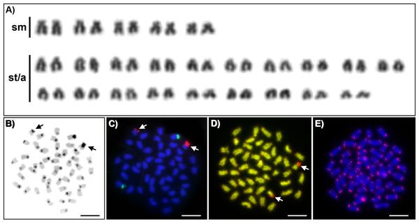 Cytogenetics of Craterocephalus amniculus.