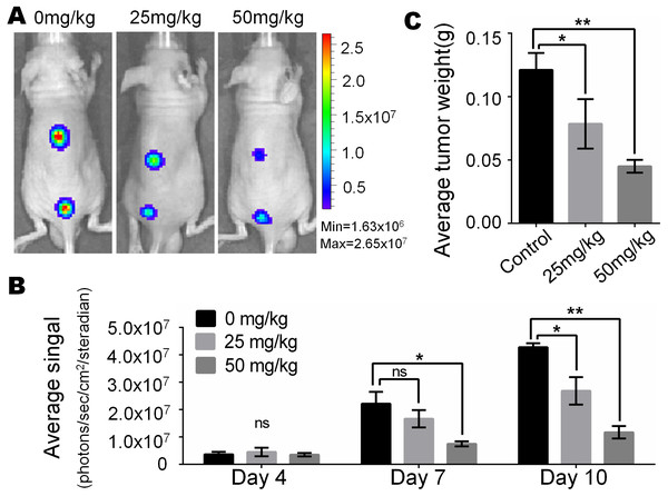 Monsensin effectively inhibits tumor growth in a xenograft model of human melanoma cells.