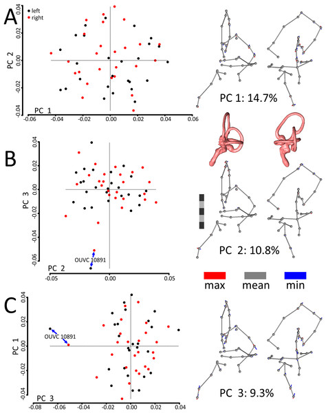 Scatterplots and ball-and-stick visualizations of the first three principal components (PCs) of the variation in shape of turkey labyrinths.