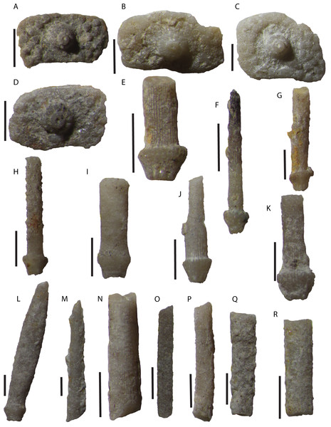 Disarticulated echinoid interambulacral plates and spines from the Tesero Member of the Werfen Formation.
