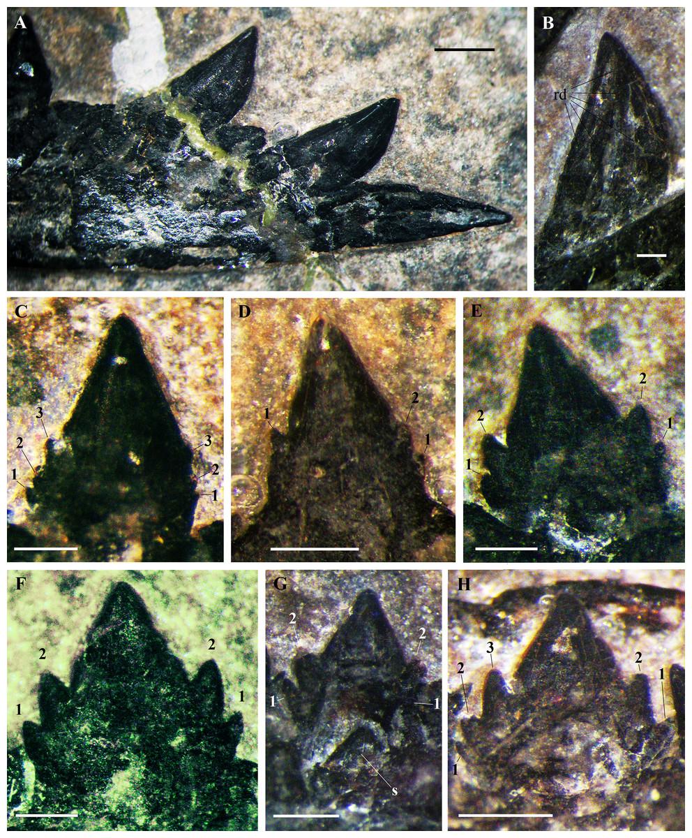 Seazzadactylus venieri gen  et sp  nov , a new pterosaur (Diapsida