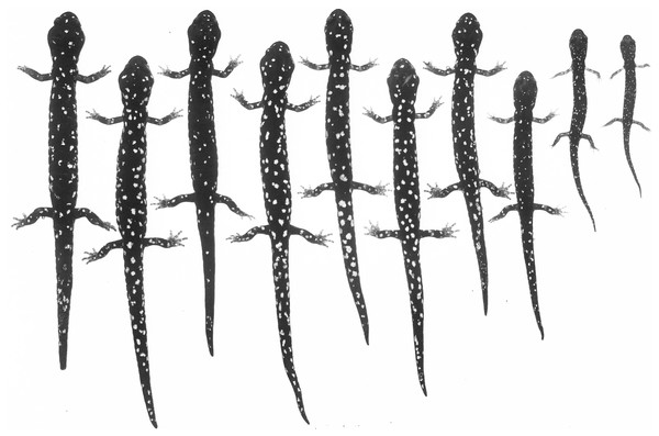 An ontogenetic series of ten Aneides flavipunctatus from area about 3.2 km E, 0.5 km S Geyserville, Sonoma Co., CA.