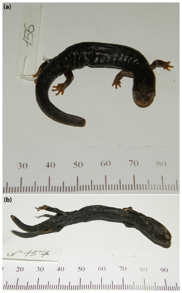 Lectotype and paralectotype of A. flavipunctatus.